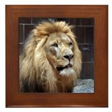 African lion Framed Tiles