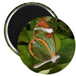 Glass Wing Butterfly 2.25