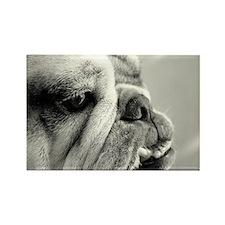 English Bulldog Closeup Rectangle Magnet