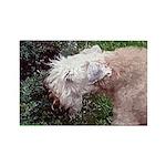 Wheaten Terrier Rectangle Magnet (100 pack)