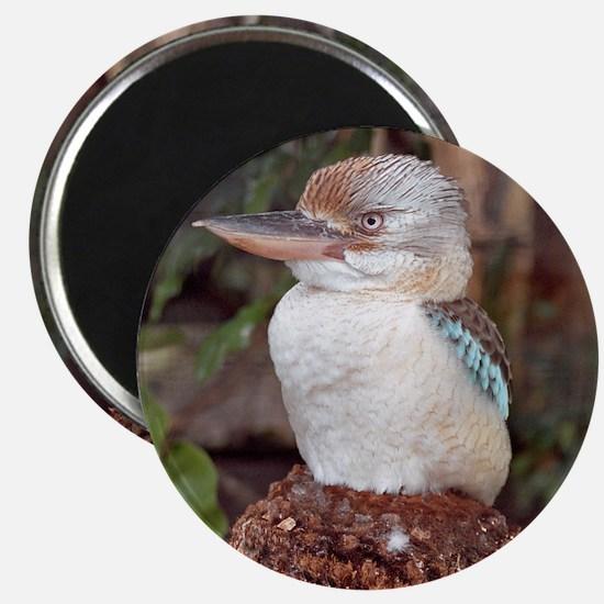 Kookaburra Looking Right Magnet