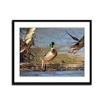 Mallard Flight Framed Panel Print
