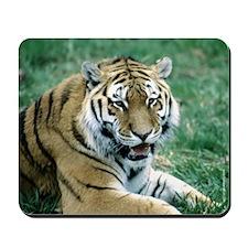 """Resting Tiger - B3"" Mousepad"