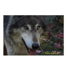 Grey Wolf: Ingo Postcards (Package of 8)
