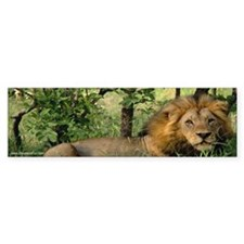 """Big African Lion"" Bumper Bumper Sticker"