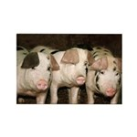 Jersey Pigs Rectangle Magnet