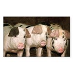 Jersey Pig Rectangle Sticker