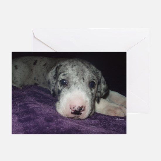 Baby Merle Great Dane puppy Cards (10p)