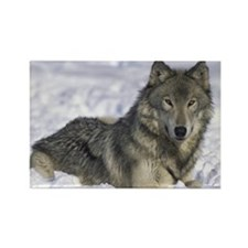 """Grey Wolf in Snow"" Rectangle Magnet"
