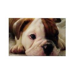 Bulldog puppy Rectangle Magnet (10 pack)