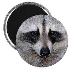 Raccoon Magnet