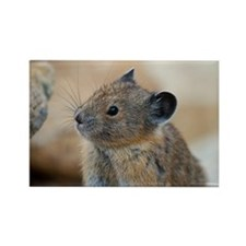 Funny American pika Rectangle Magnet