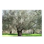 Olive tree in bloom  Postcards (Package of 8)