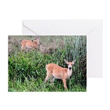 White-Deer, Everglades Greeting Cards (Pack of 6)