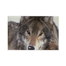 Wolf Gaze Rectangle Magnet (10 pack)