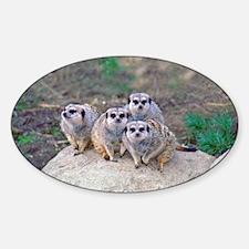 4 Meerkats Peering Oval Decal