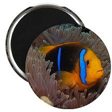 "Cute Clown Fish 2.25"" Magnet (100 pack)"
