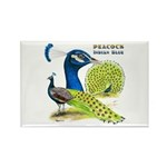 Peacock in Blue Rectangle Magnet (10 pack)