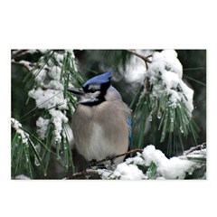 Blue Jay Postcards (Package of 8)