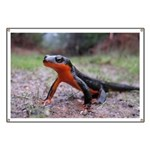 Rough Skinned Newt Banner