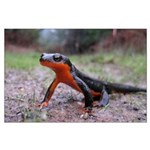 Rough Skinned Newt Large Poster