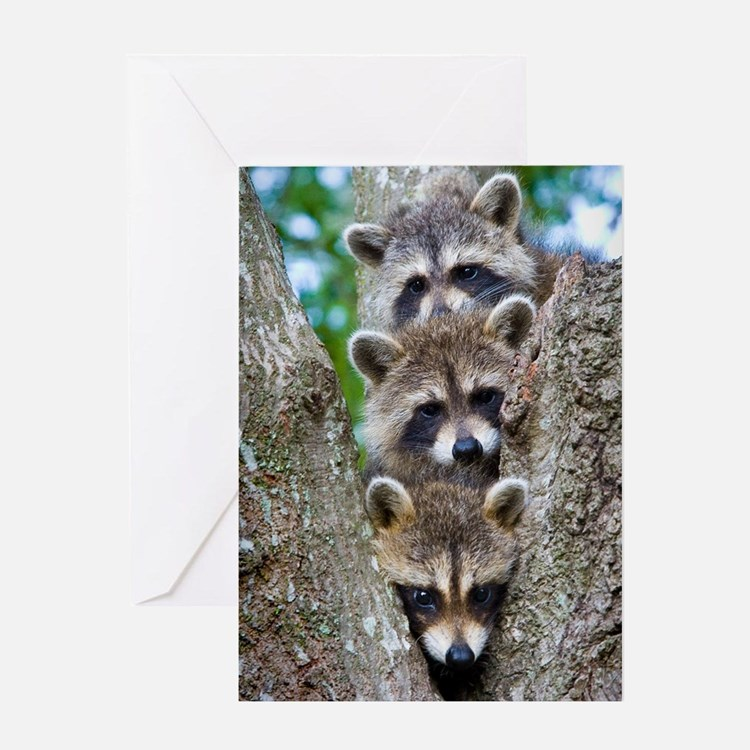 Baby Raccoon Trio Greeting Card