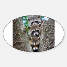 Baby Raccoon Trio Oval Decal