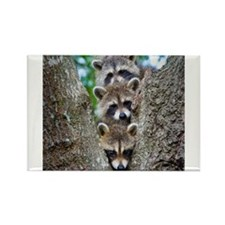 Baby Raccoon Trio Rectangle Magnet (10 pack)