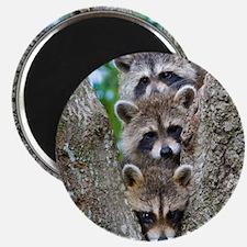 Baby Raccoon Trio Magnet