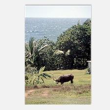 Guam Carabao and Ocean Scene Postcards (Package of