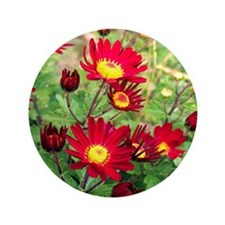 """Red Daisy Mums 3.5"""" Button (100 pack)"""