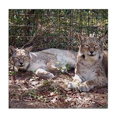 Siberian Lynx Tile Coaster