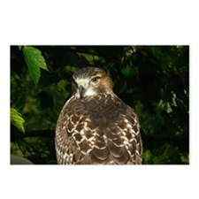 Red-tailed Hawk Postcards (Package of 8)