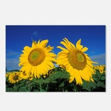 2 Sunflowers Postcards (Package of 8)