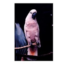Moluccan Cockatoo series 2 Postcards (Package of 8