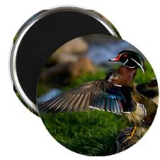 """Wood Duck Wing 2.25"""" Magnet (10 pack)"""