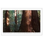 California Redwood Trees Large Poster
