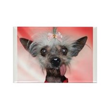 Cute Chinese crested Rectangle Magnet (100 pack)