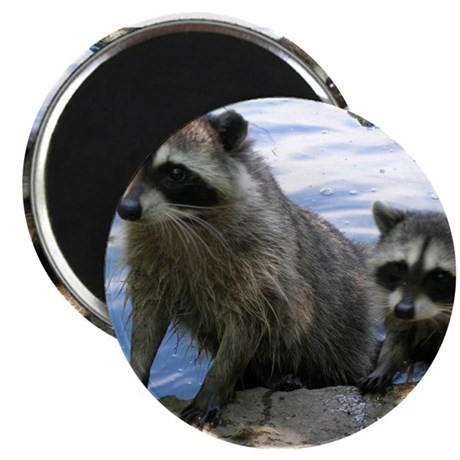 Racoon Buddies Magnet
