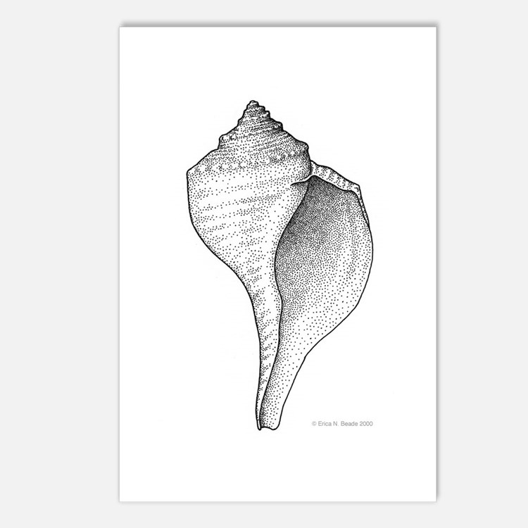 Channeled Whelk Postcards (Package of 8)