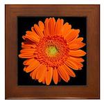 Orange Gerbera Daisy Framed Tile