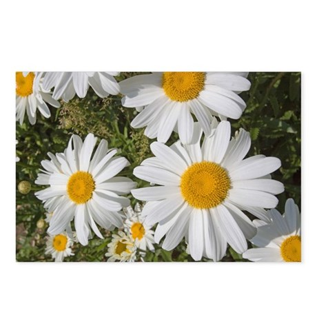 Daisies Postcards (Package of 8)