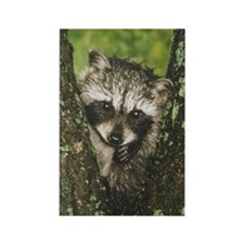 Baby Raccoon Rectangle Magnet