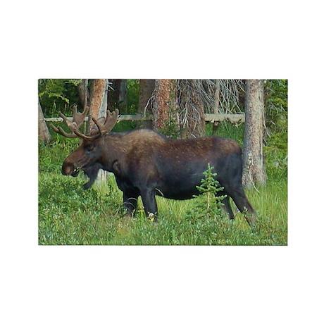 Wildlife, Bull Moose, Photography, Framed Panel Pr