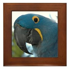 Framed Tile - Hyacinth Macaw