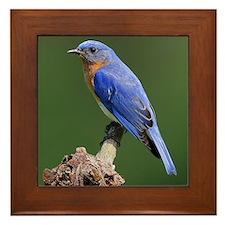 Eastern Bluebird Photo Framed Tile