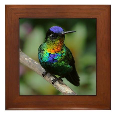 Fiery-Throated Hummingbird Photo Framed Tile