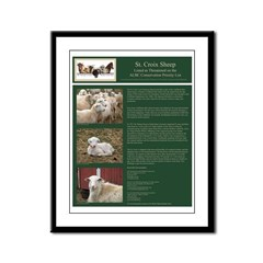 St Croix Sheep Posters Framed Panel Print