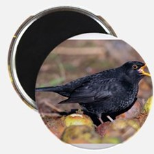 Male blackbird calling - Magnets