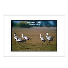 Wattled Cranes Bird Photo Postcards (Package of 8)